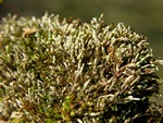 Bryum argenteum